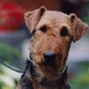 """Ornella von Thekla - Airedale Terrier Zwinger """"von Thekla"""""""