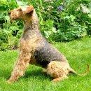 """Ypsilon von Thekla - Airedale Terrier Zwinger """"von Thekla"""""""