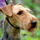 """Emma von Thekla - Airedale Terrier Zwinger """"von Thekla"""""""