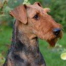 """Illy von Thekla - Airedale Terrier Zwinger """"von Thekla"""""""