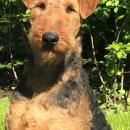 """O`Kessy von Thekla - Airedale Terrier Zwinger """"von Thekla"""""""