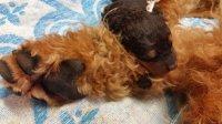 P²-Wurf  - Airedale Terrier von Thekla