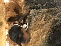 S`2- Wurf  - Airedale Terrier von Thekla